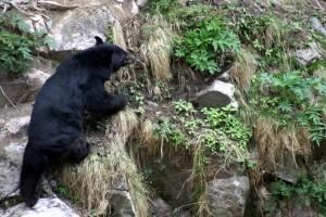 Himalayan Bear, en route Nada Thatch